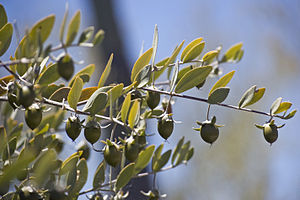 Seeds on a Female Jojoba Bush Jojoba oil is ea...
